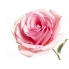 Arôme Rose - Flavour Art